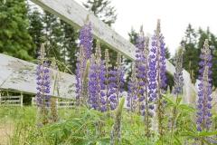 Lupine (Lupinus), Gulf Islands, British Columbia