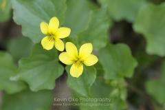 Stream Violet (Viola glabella), Gulf Islands, British Columbia