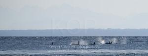 Orcas off East Point, Saturna Island