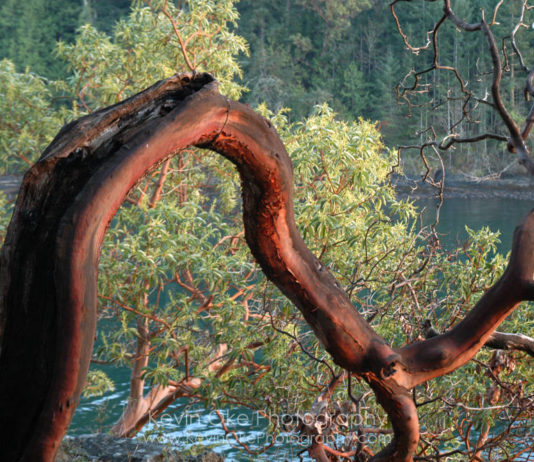 An Arbutus tree hanging over the waters edge on Roe Islet at Roesland in the Gulf Islands National Park Reserve of Canada, North Pender Island, BC