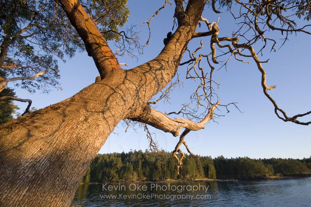 Arbutus tree, Gulf Islands National Park Reserve of Canada, Roesland, North Pender Island, British Columbia, Canada