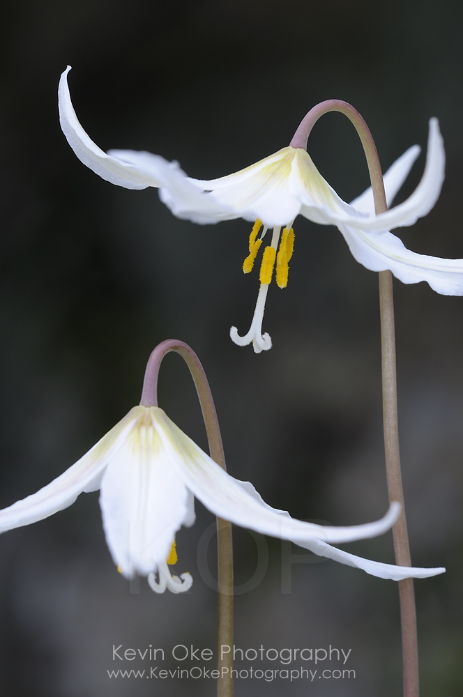 White fawn lily (Erythronium oregonum), Pender Island, British Columbia, Canada