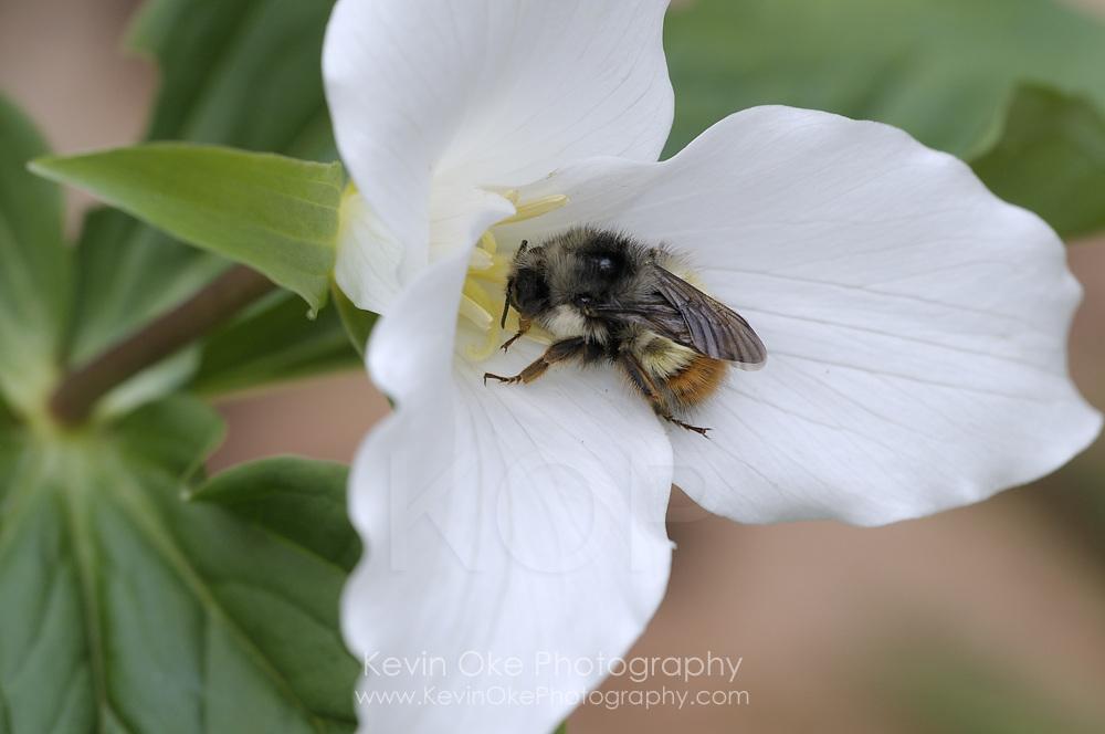 Western Trillium and bee (Trillium ovatum), Gulf Islands, British Columbia