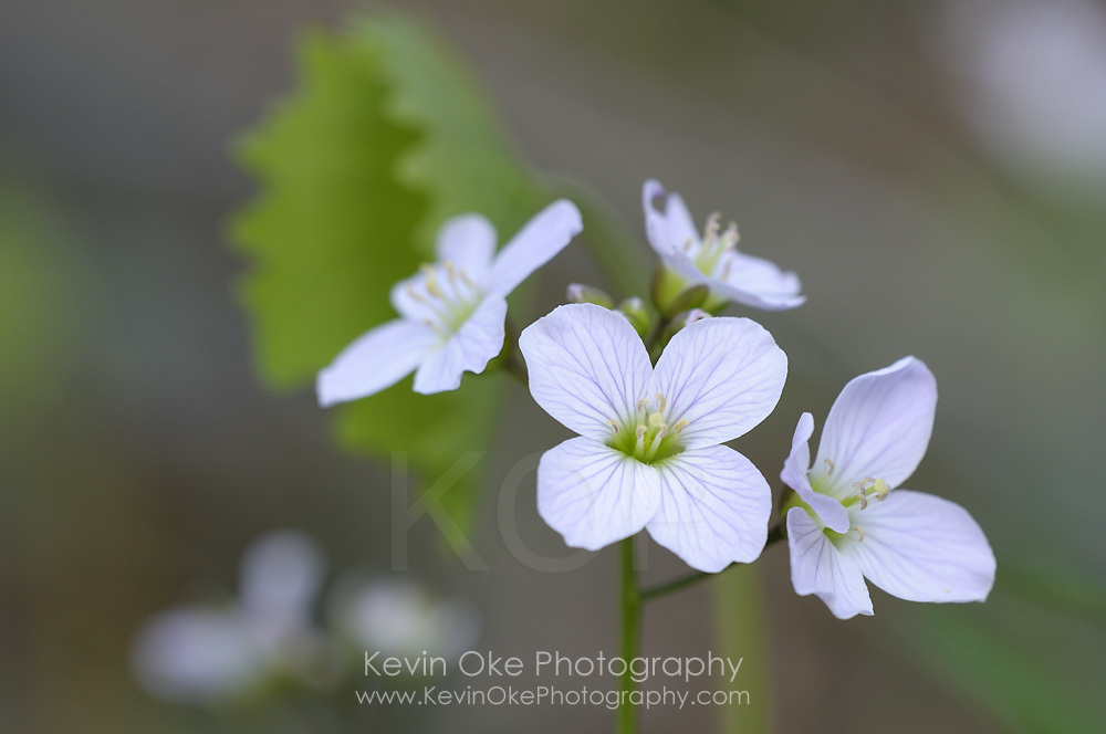 Slender Toothwort (Cardamine pulcherrima var. tenella), Gulf Islands, British Columbia