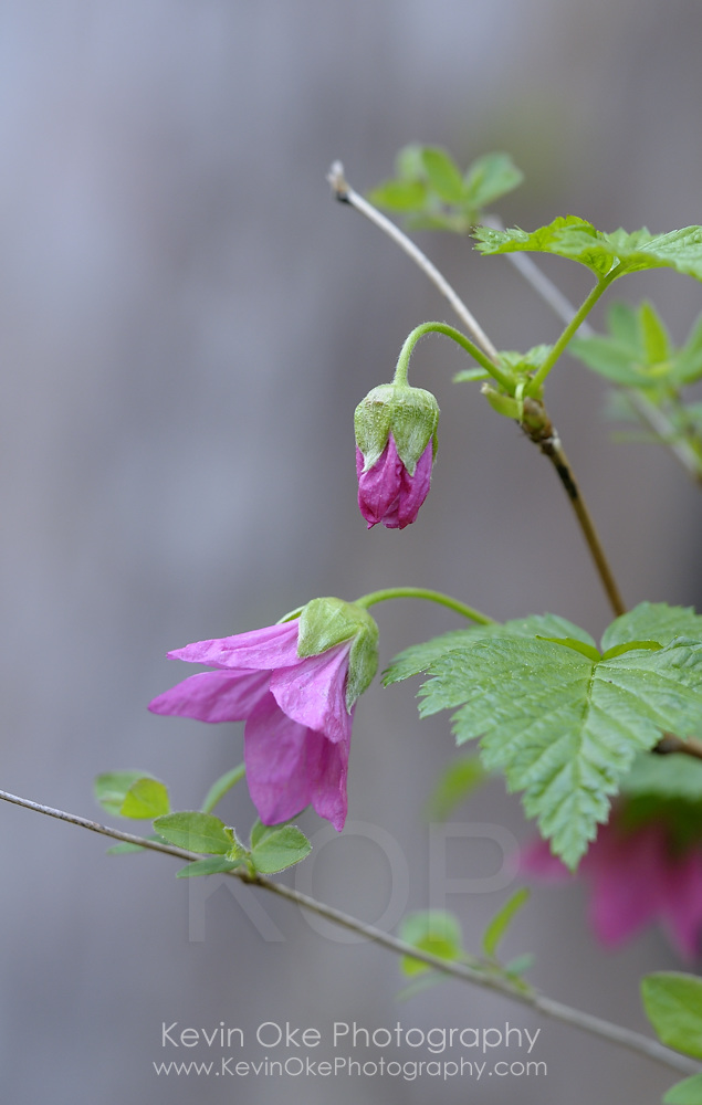 Salmonberry (Rubus spectabilis), Gulf Islands, British Columbia