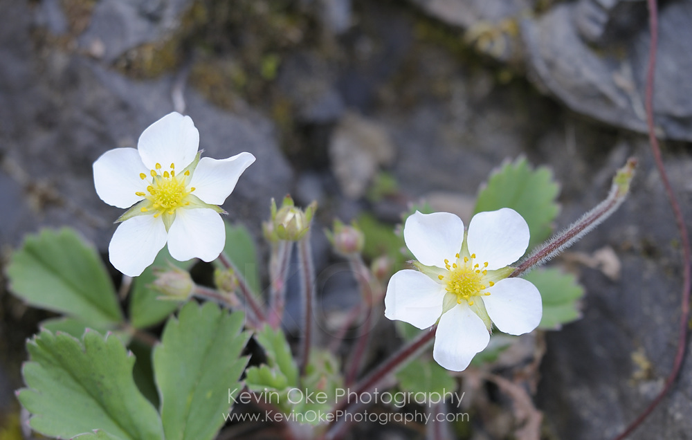 Coastal Strawberry (Fragaria chiloensis), Gulf Islands, British Columbia