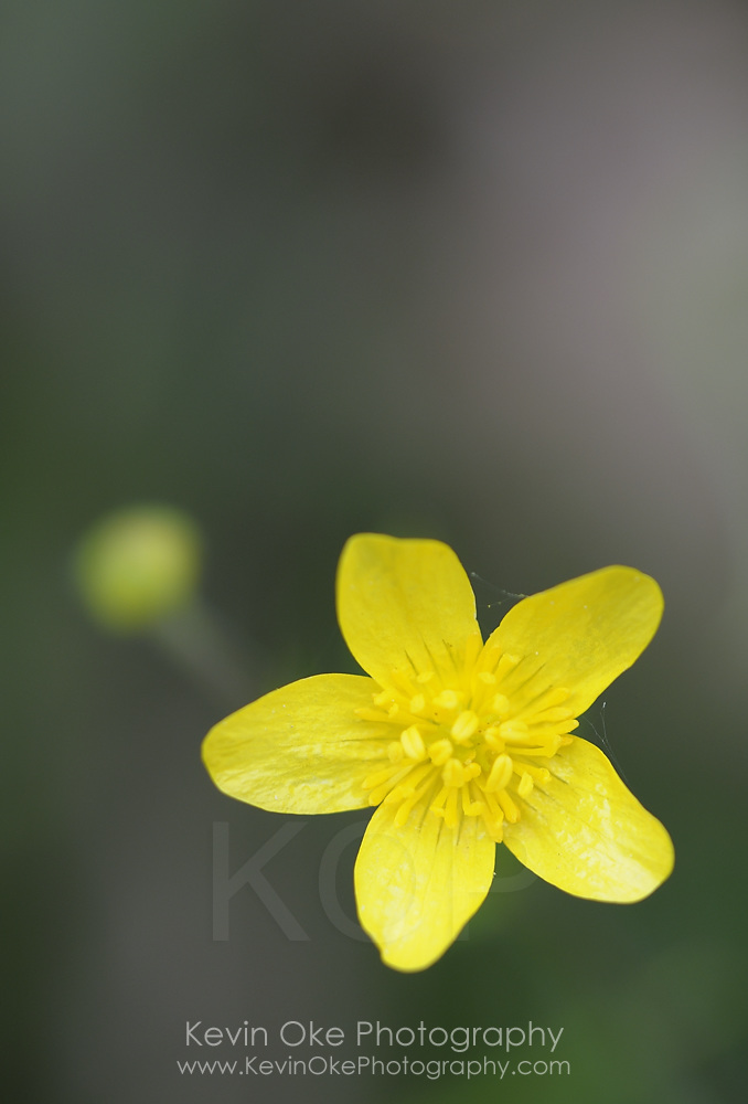 Buttercup (Ranunculus), Gulf Islands, British Columbia