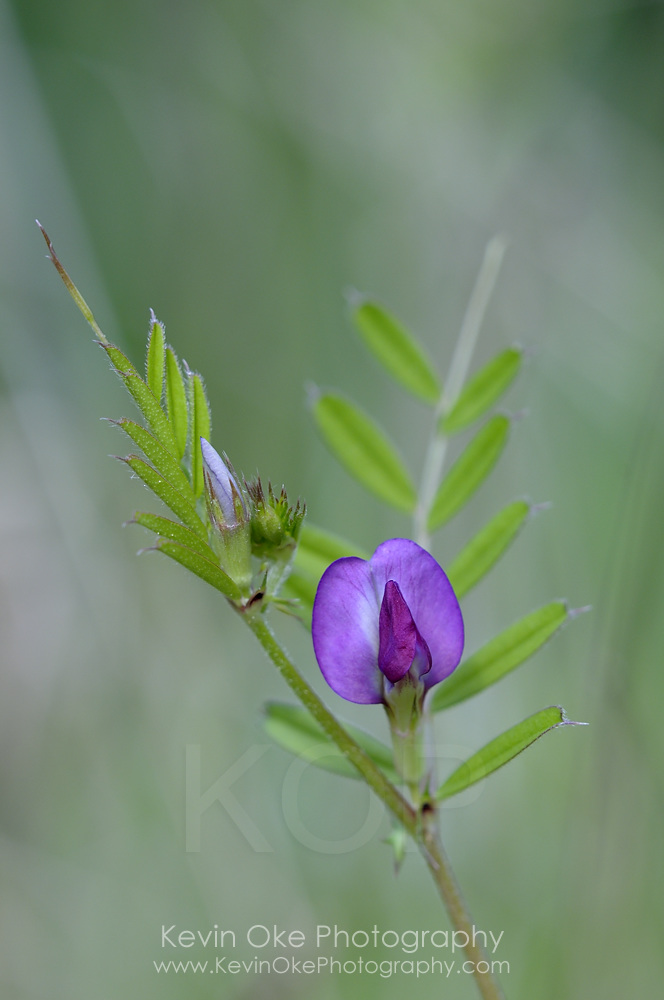 Purple wildflower, Gulf Islands, British Columbia