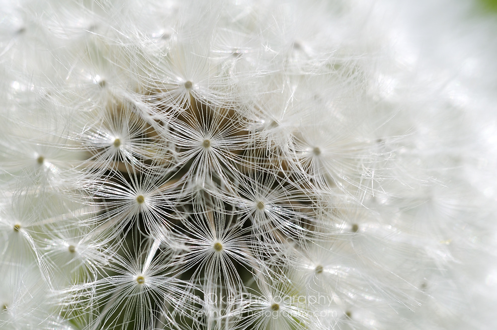Dandelion, Gulf Islands, British Columbia