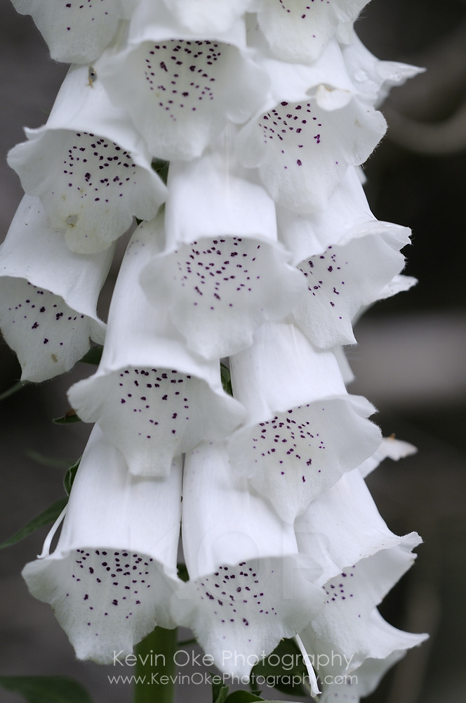 Foxglove (Digitalis  purpurea), Gulf Islands, British Columbia