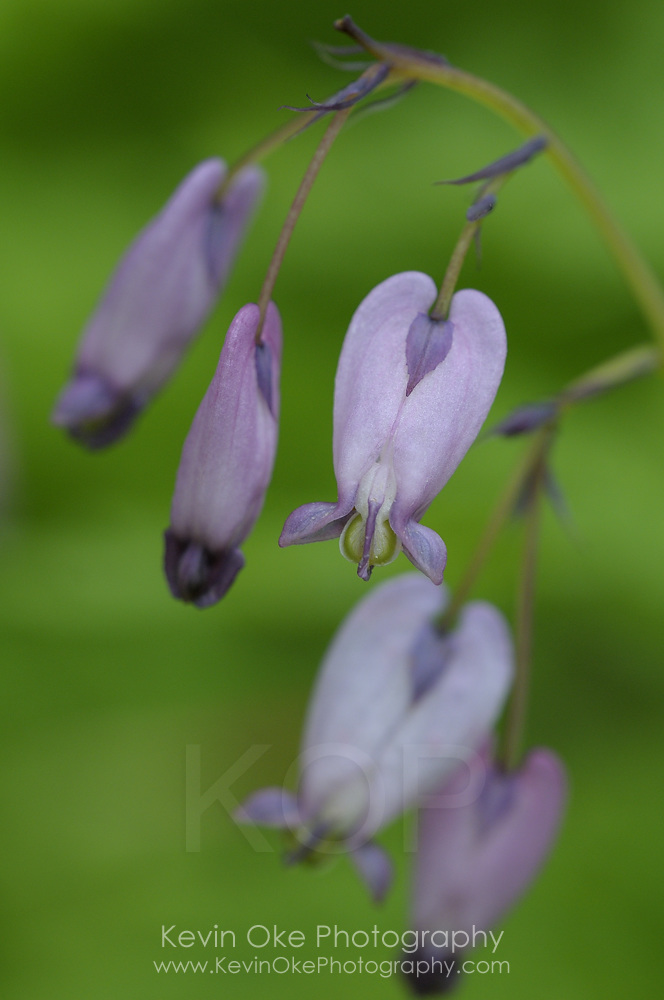 Pacific Bleeding Heart (Dicentra formosa), Gulf Islands, British Columbia