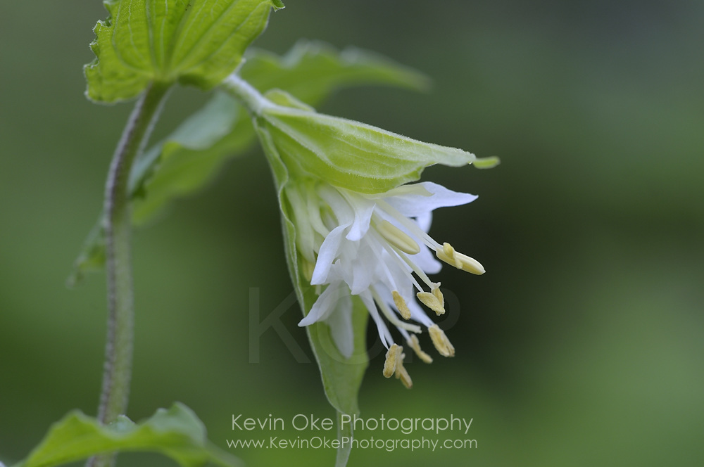 Hooker's Fairybell  (Disporum hookeri), Gulf Islands, British Columbia