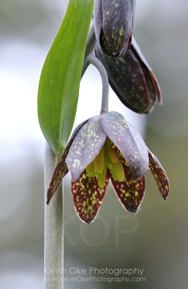 Chocolate Lily (Fritillaria affinis), Gulf Islands, British Columbia
