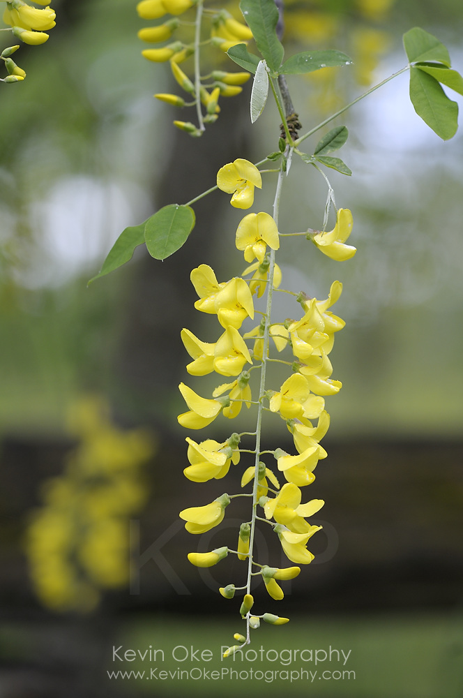 Golden chain Tree (Laburnum watereri), Gulf Islands, British Columbia