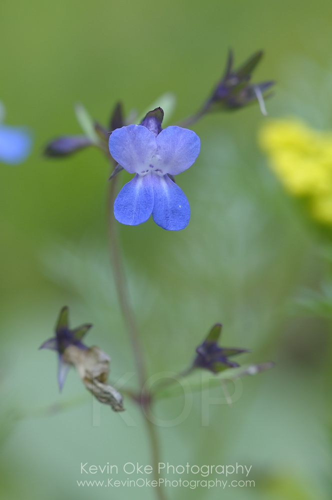 Blue-eyed Mary (Collinsia parviflora), Gulf Islands, British Columbia