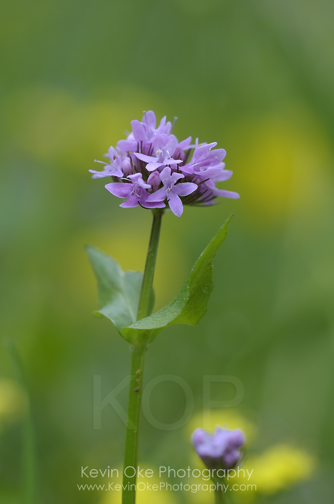Sea Blush (Plectritis congesta), Gulf Islands, British Columbia