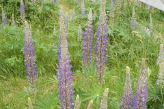 Lupine (Lupinus), Gulf Islands, British Columbia