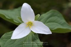 Western Trillium (Trillium ovatum), Gulf Islands, British Columbia