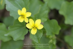 Stream Violet (Viola glabella), Gulf Islands, British Columbia