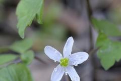 Lyall's Anemone (Anemone lyallii), Gulf Islands, British Columbia