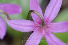 Pink fawn lily (Erythronium revolutum), Gulf Islands, British Columbia