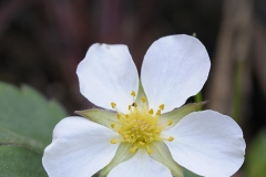 Wild Strawberry, Gulf Islands, British Columbia