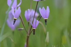 Shooting Star (Dodecatheon pulchellum), Gulf Islands, British Columbia