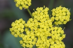 Spring Gold (Lomatium utriculatum), Gulf Islands, British Columbia