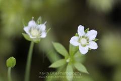 White wildflower, Gulf Islands, British Columbia