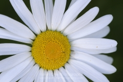 Daisy, Gulf Islands, British Columbia