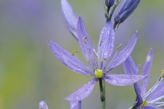 Common Camas (Camassia quamash), Gulf Islands, British Columbia