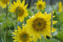 Deltoid Balsamroot (Balsamorhiza deltoidea), Gulf Islands, British Columbia