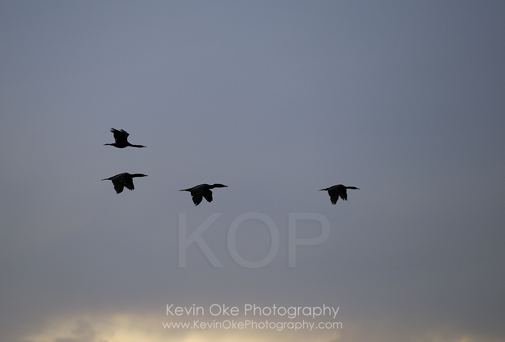 Canada goose (Branta canadensis) flying, Sidney Spit