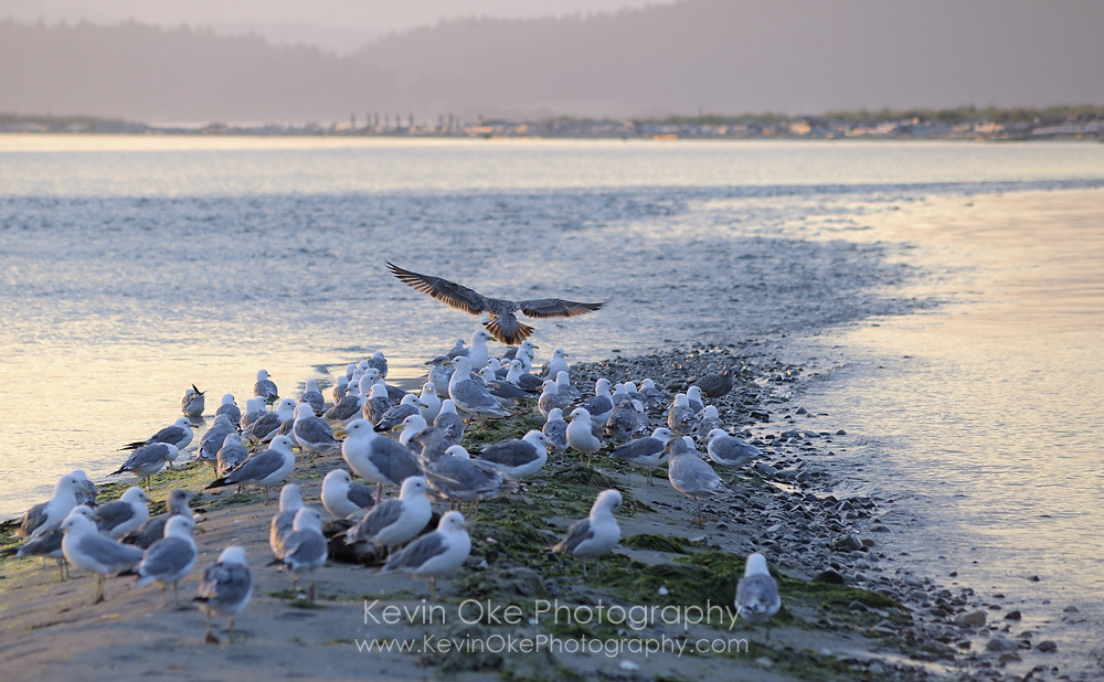 Gulls on Sidney Spit at sunset, Gulf Islands National Park Reserve of Canada