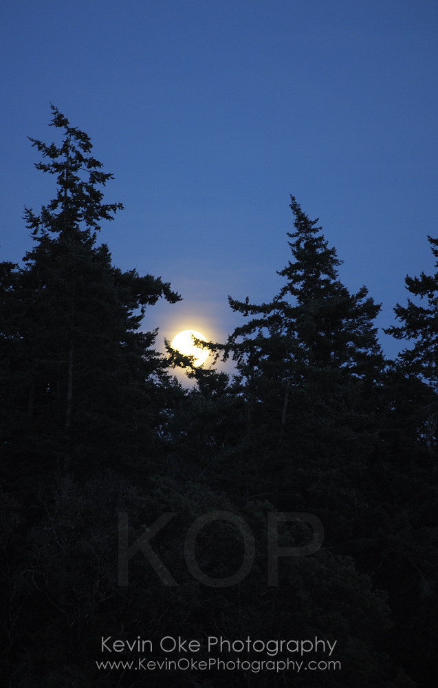 Moonrise behind trees, Sidney Spit, Gulf Islands National Park Reserve of Canada