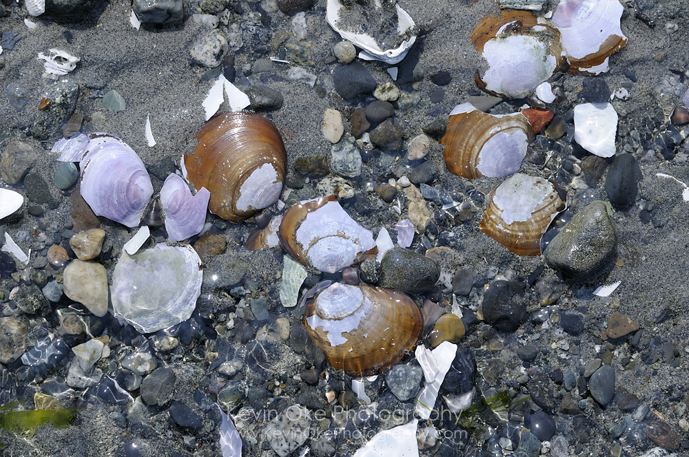 Close up photo of clam shells on the beach, Sidney Spit, Gulf Islands National Park Reserve of Canada
