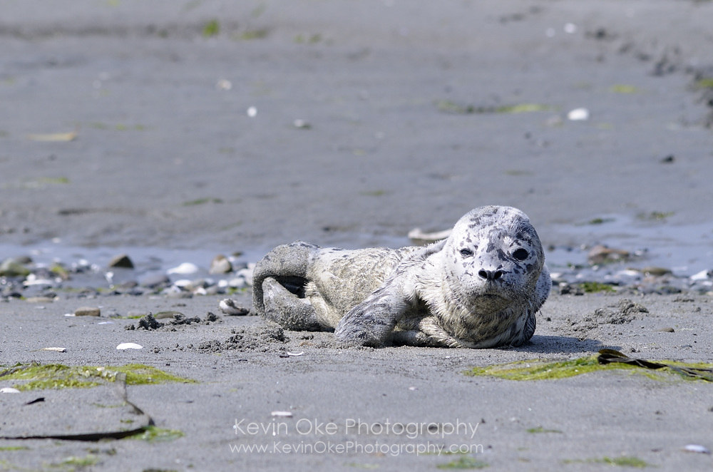 Harbour seal (Phoca vitulina) pup on the beach at Sidney Spit, Gulf Islands National Park Reserve of Canada