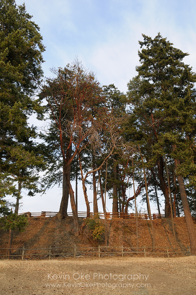 Large arbutus and fir trees towering over rustic fencing in the Sidney Tile and Brick Company