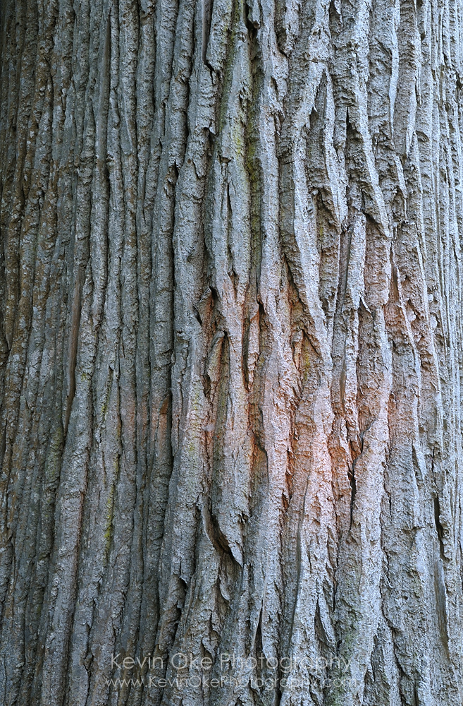 Black cottonwood (Populus trichocarpa) bark, Sidney Spit, Gulf Islands National Park Reserve of Canada