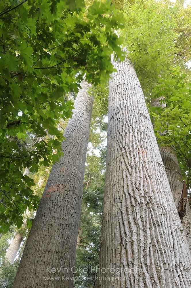 Black cottonwood (Populus trichocarpa) trunks, Sidney Spit, Gulf Islands National Park Reserve of Canada