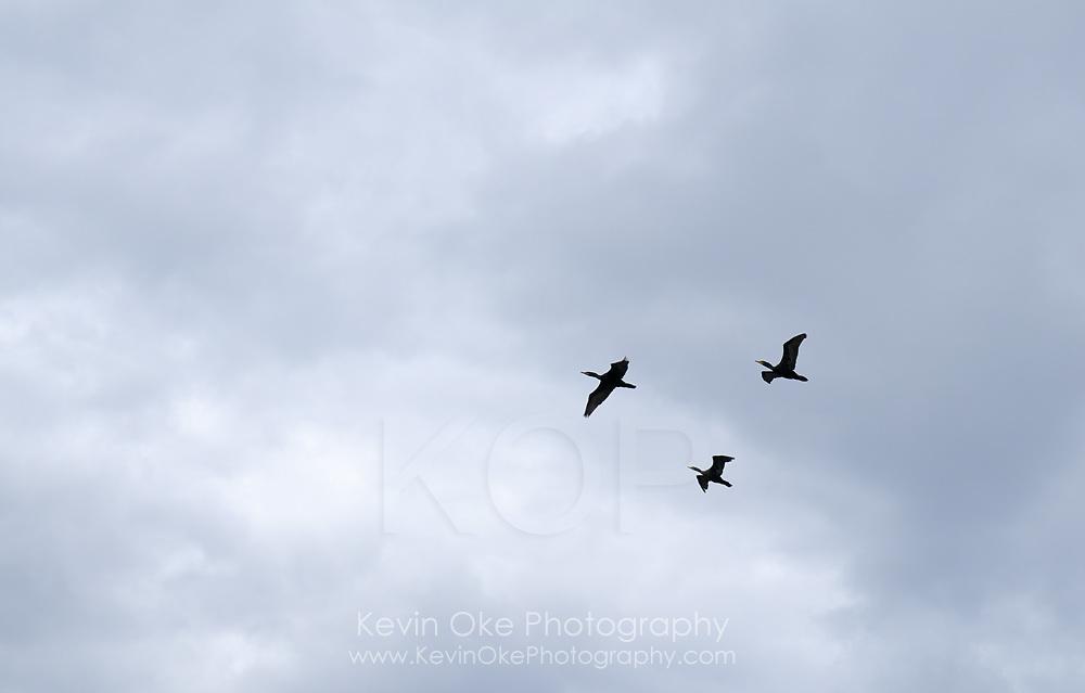 Pelagic cormorants (Phalacrocorax pelagicus) flying above Sidney Spit, Gulf Islands National Park Reserve of Canada