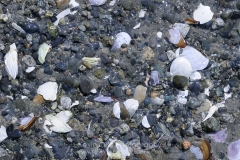 Close up photo of rocks and shells, Sidney Spit, Gulf Islands National Park Reserve of Canada