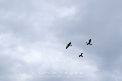 Pelagic cormorants (Phalacrocorax pelagicus) flying above Sidney Spit, Gulf Islands National Park Reserve of Canada