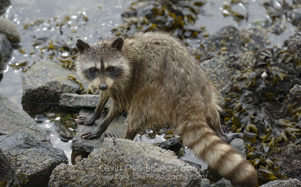 Raccoons (Procyon lotor) are present on many of the Gulf Islands