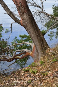 Arbutus tree on Portland Island