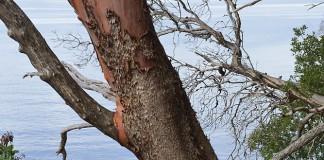 Arbutus tree on Portland Island