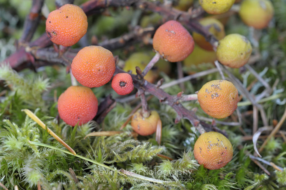 Arbutus berries, Roesland, North Pender Island, British Columbia, Canada