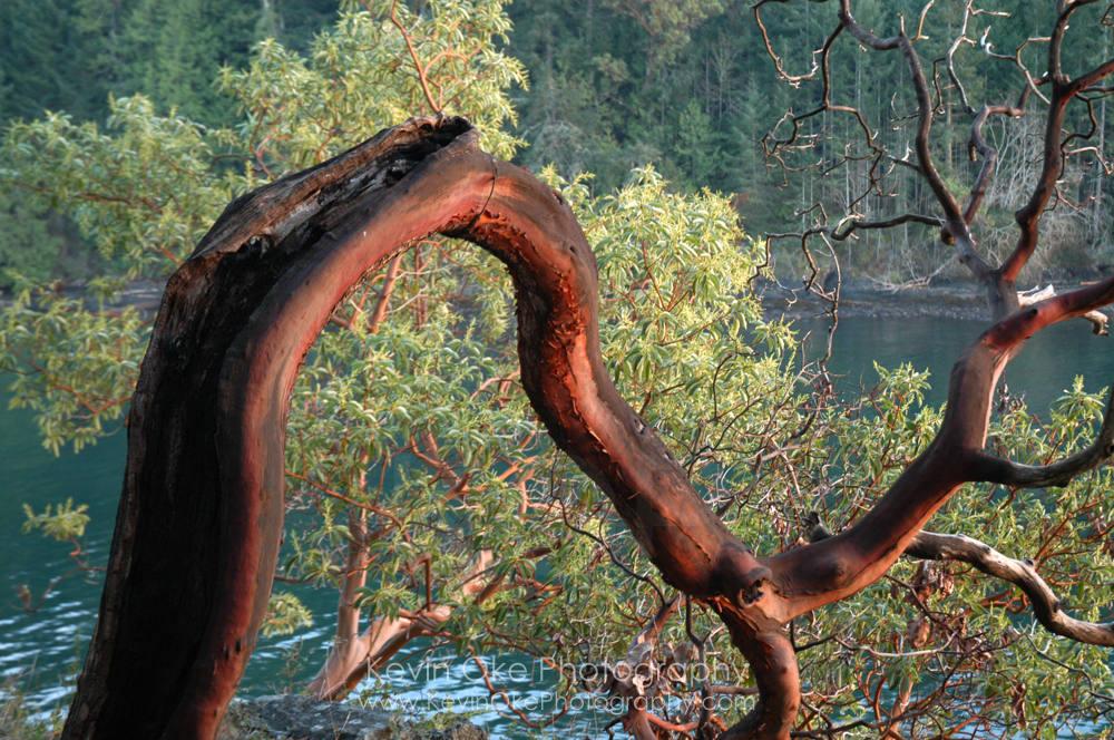 Arbutus bark, Roesland, North Pender Island, British Columbia, Canada