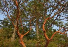 Arbutus tree (Arbutus menziesii), Russell Island, British Columbia, Canada